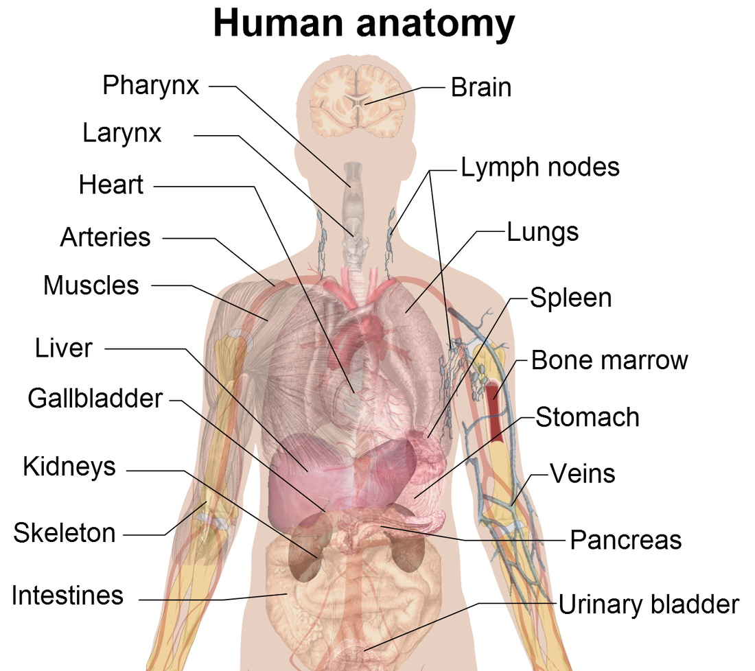anatomy & physiology - mr. dudley's website, Human Body